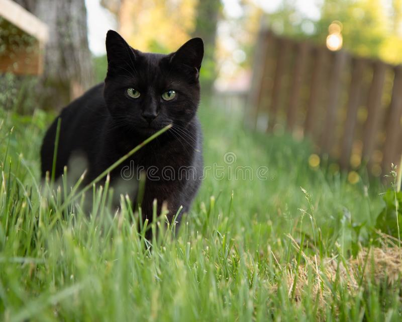 Schwarze Cat Portrait Outdoors im Sommer lizenzfreies stockbild