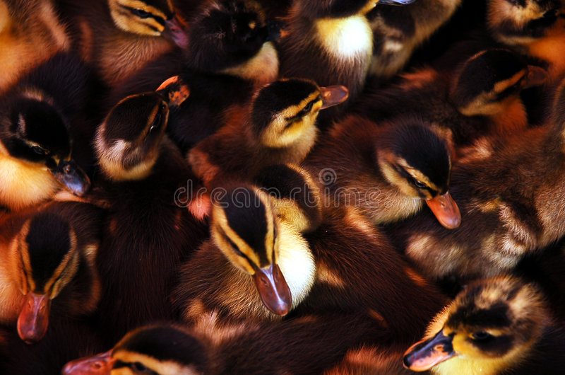 Schwarze Ente stockbild