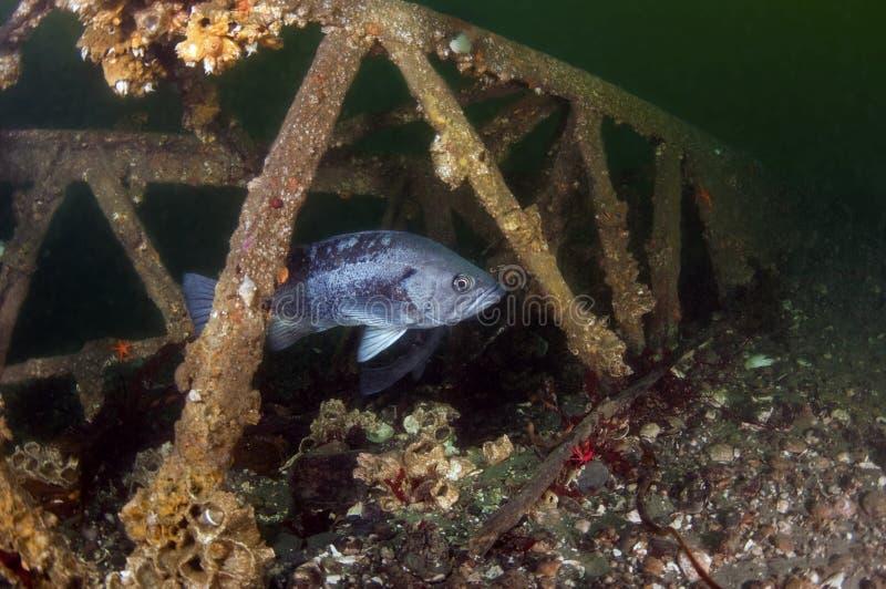 Schwarze Felsen-Fische lizenzfreies stockfoto