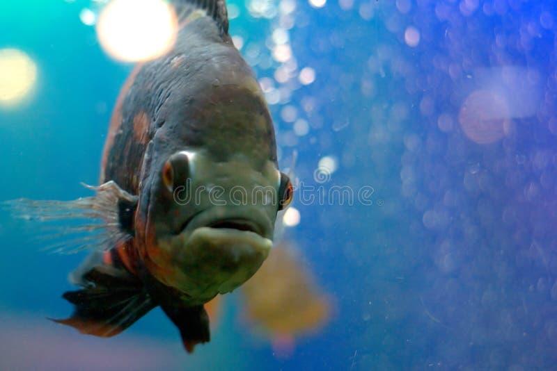 Schwarze Fische stockfotos