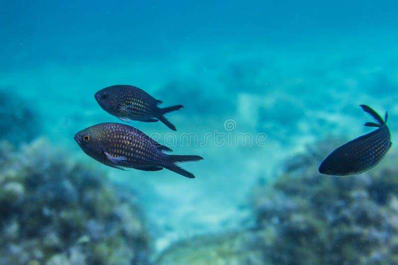 Fische Im Schwarzen Meer