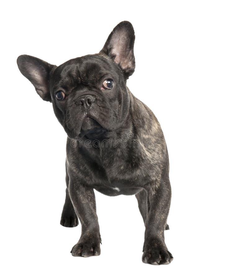 Download Schwarze Französische Bulldogge Stockfoto - Bild von säugetier, zucht: 9087328