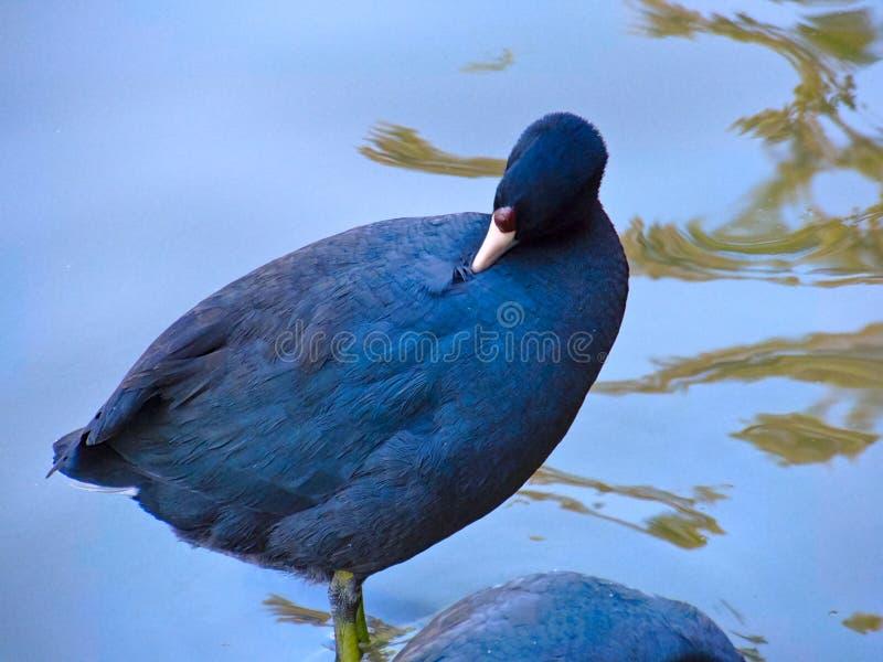 Schwarze Gans, die im See sich pflegt lizenzfreie stockfotos