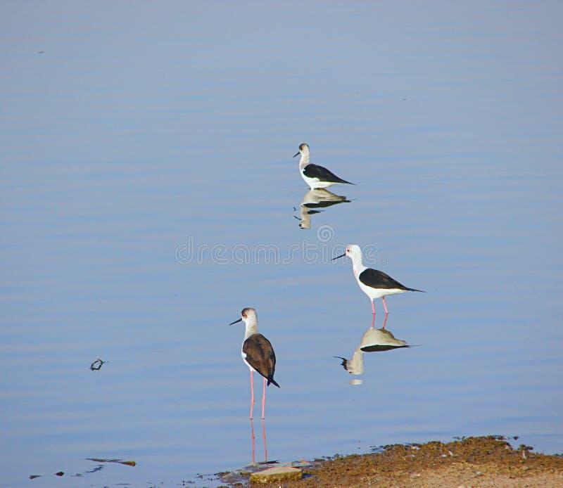 Schwarze geflügelte Stelzen am Randarda See, Rajkot, Gujarat stockfoto