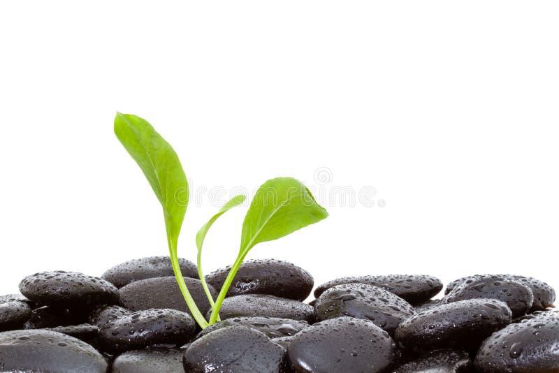 schwarze glänzende Zensteine mit Wasser fällt über schwarzen Hintergrund lizenzfreie stockfotos