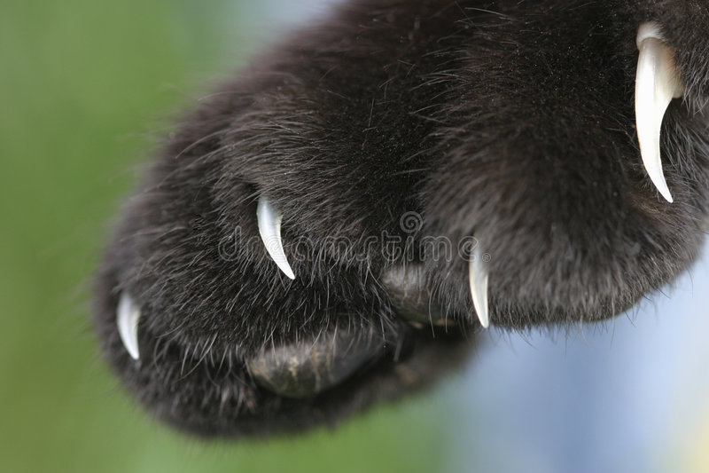 Schwarze housecat Greifer werden entblößt stockfotografie
