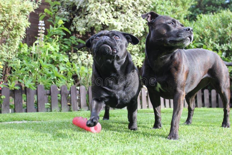 Schwarze Hunde zusammen gestanden auf Gras stockfotos