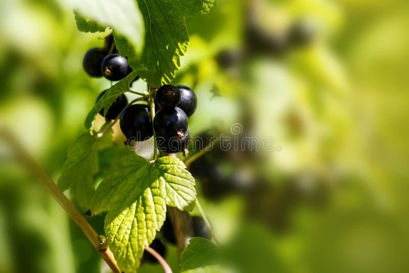 Schwarze Johannisbeere auf einem Zweig im Garten lizenzfreie stockfotos