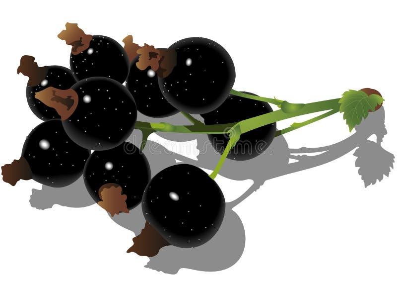 Schwarze Johannisbeere auf weißem Hintergrund. lizenzfreie abbildung