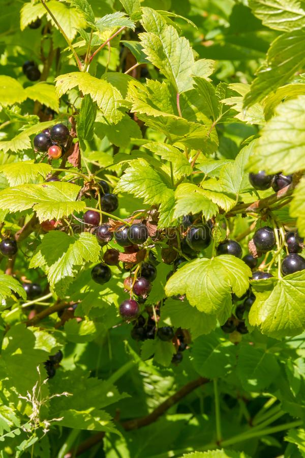 Schwarze Johannisbeere im sonnigen Garten des Sommers lizenzfreies stockfoto