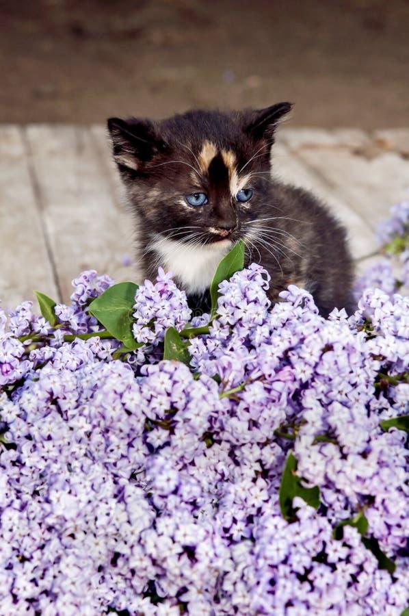 Schwarze Kalikokätzchenkatze, purpurrote Fliedern stockbilder