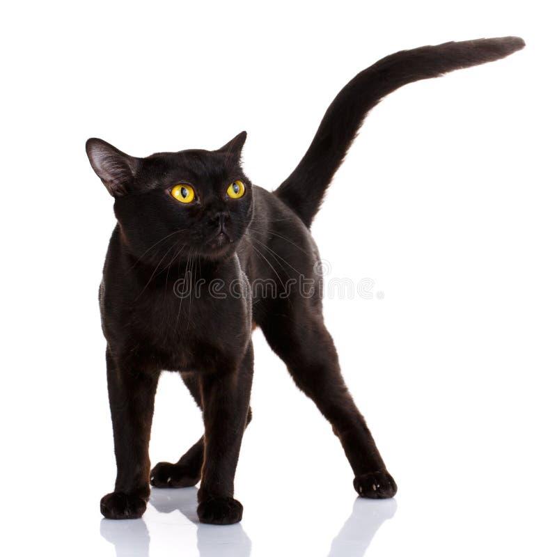 Schwarze Katze Bombays auf einem weißen Hintergrund lizenzfreie stockbilder