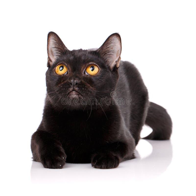 Schwarze Katze Bombays mit den gelben Augen, die auf einem weißen Hintergrund liegen, lizenzfreies stockfoto