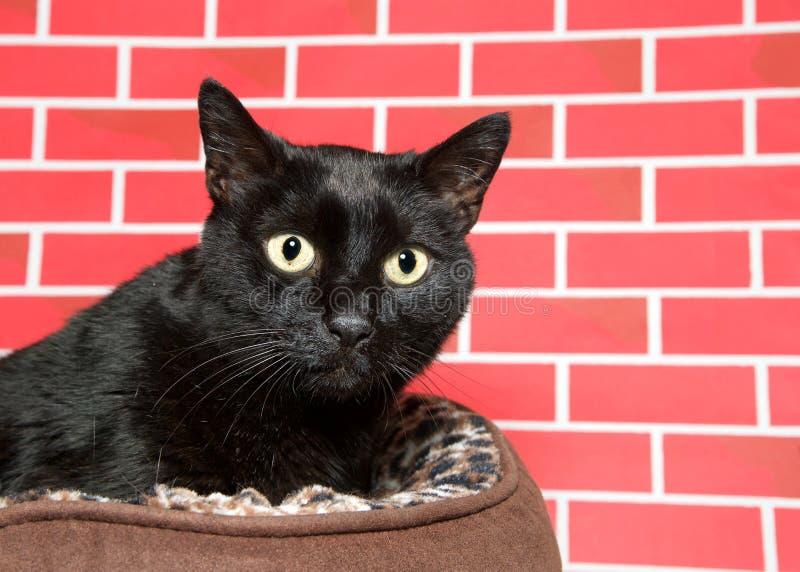 Schwarze Katze geduckt unten im Bett, das nervös nach rechts zu den Zuschauern schaut stockfotos