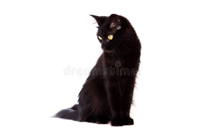 Schwarze Katze mit dem langen Haar, das unten schaut lizenzfreie stockfotos