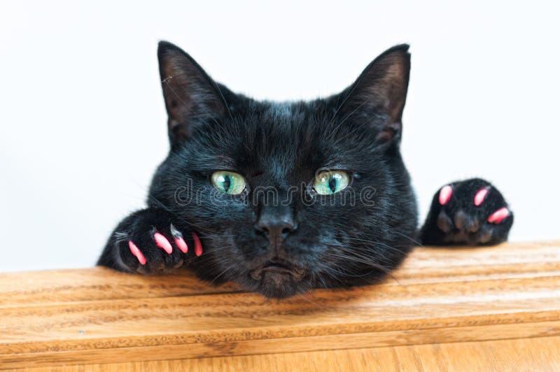 Schwarze Katze mit rosa Greifern stockfotos