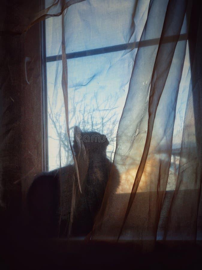 Schwarze Katze versteckt hinter einem transparenten Vorhang auf dem Fenster lizenzfreie stockfotografie
