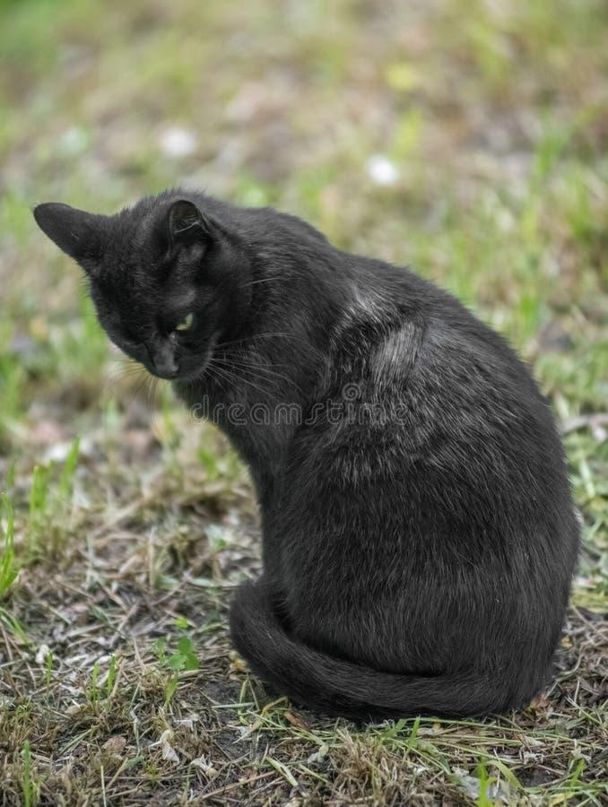 Schwarze Katze, welche die Kamera sitzt und betrachtet stockfoto