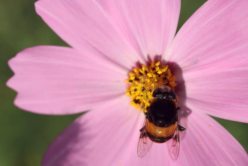 Schwarze kleine Biene auf rosa Blume auf grünem Hintergrund lizenzfreie stockbilder