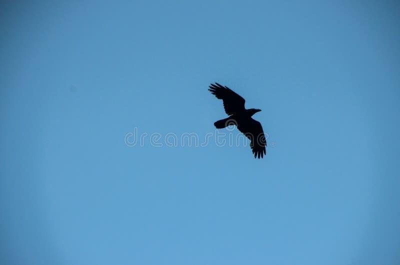 Schwarze Krähe stockbild