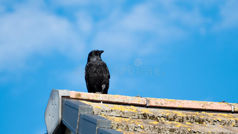 Schwarze Krähe stockbilder