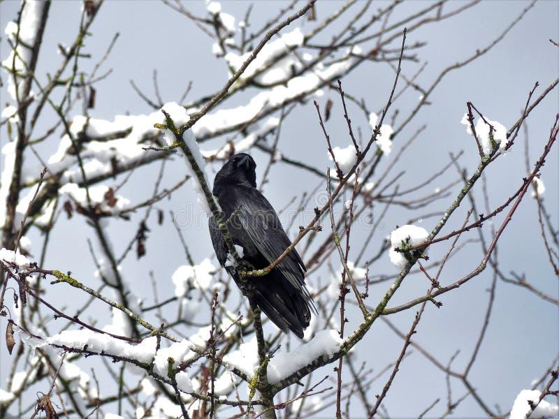 Schwarze Krähe im Schneedeckebaum stockfoto