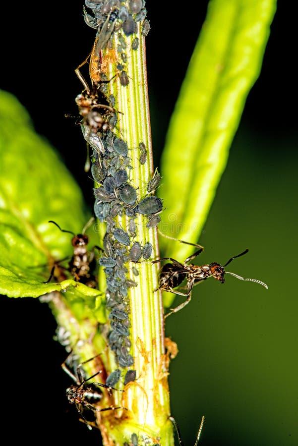 Schwarze L?use und Ameisen in einer Kolonie stockfoto