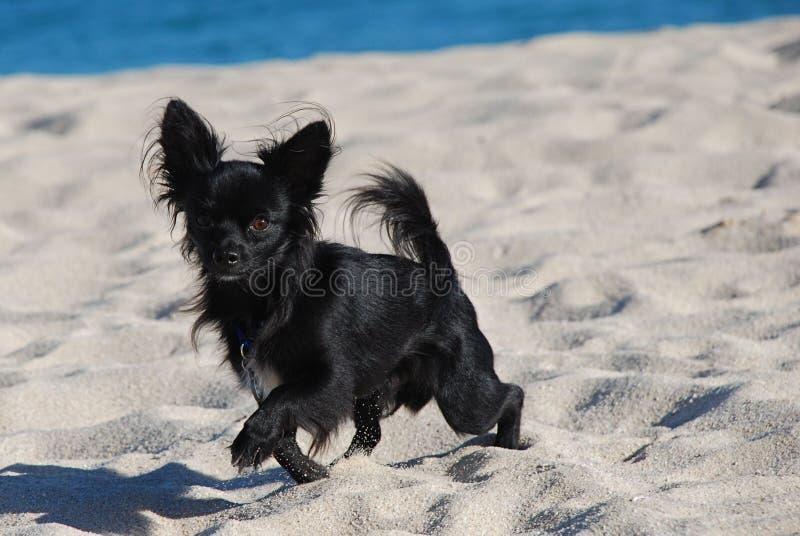 Schwarze lange Haar Chihuahua auf dem Strand lizenzfreies stockbild
