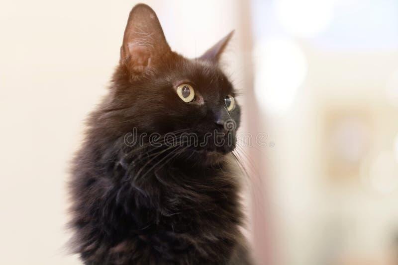 Schwarze langhaarige nette Katze stockbild