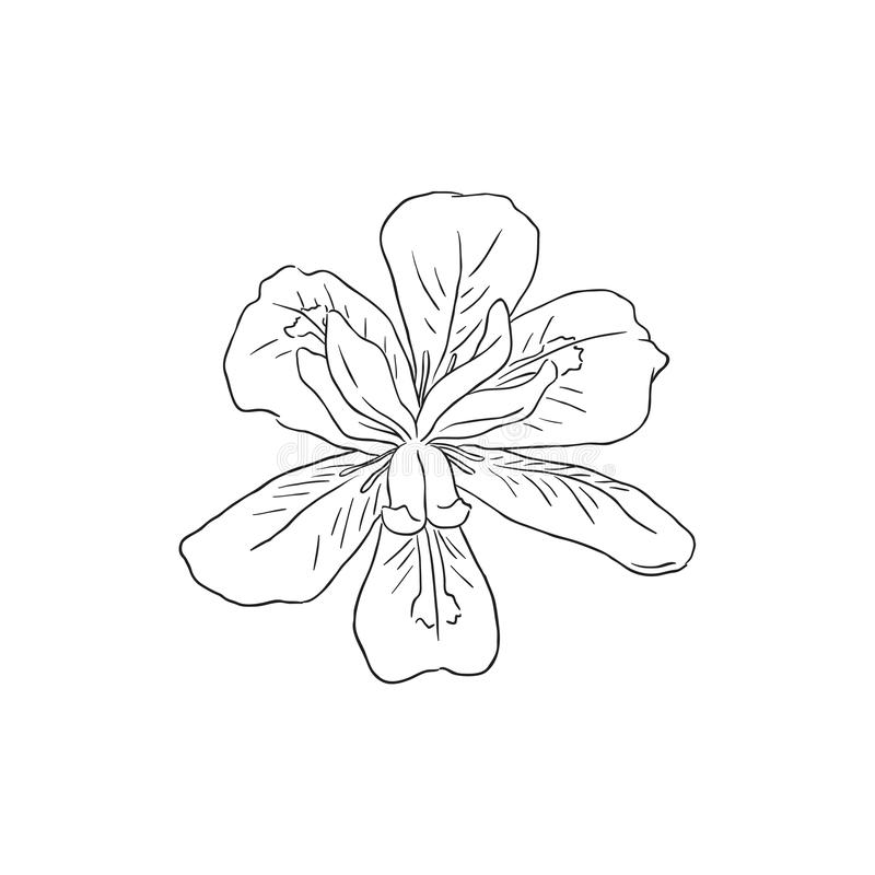 Schwarze Linie Art Dietes Flower oder vierzehn Tage Lilie im Vektor vektor abbildung