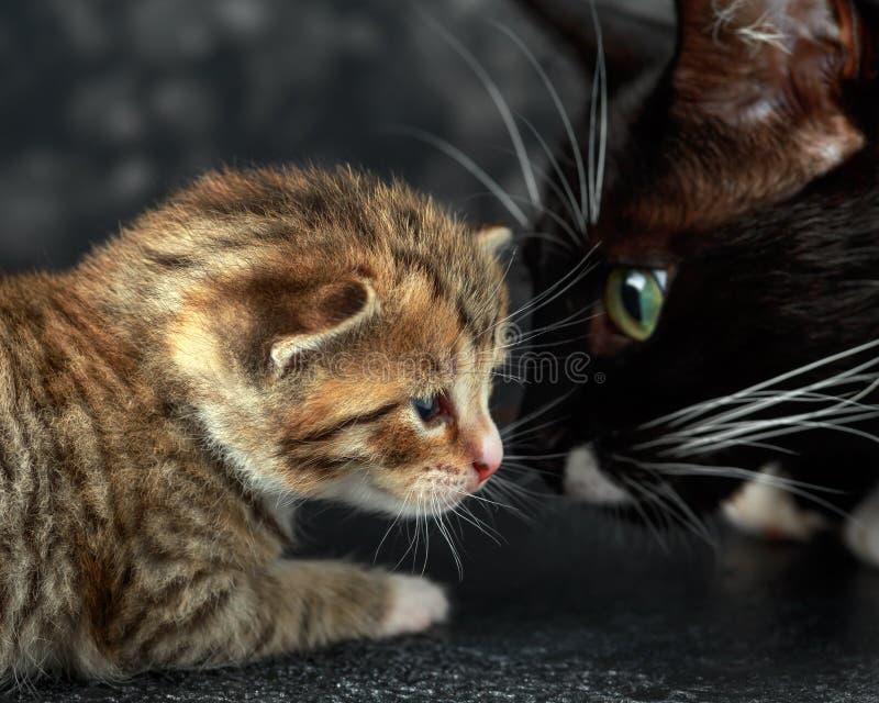 Schwarze Mamakatze mit wenigem Kätzchen der getigerten Katze lizenzfreie stockbilder