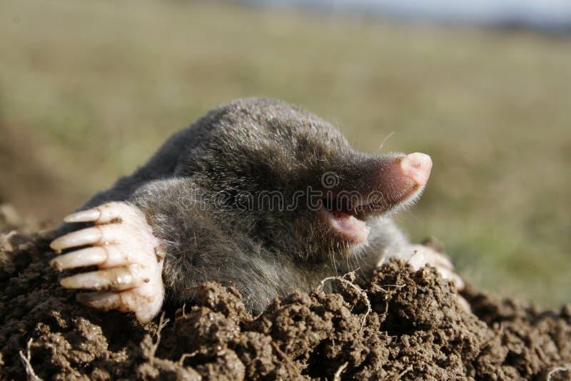 Schwarze Mole hungrig lizenzfreie stockfotos