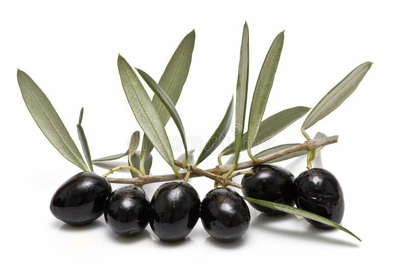 Schwarze Oliven auf dem Zweig. lizenzfreie stockfotografie