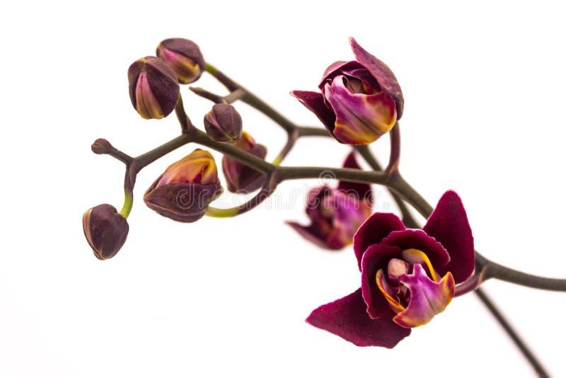 Schwarze Orchidee lokalisiert auf wei?em Hintergrund Ausf?hrliche vektorzeichnung Phalaenopsis Black Jack stockbild
