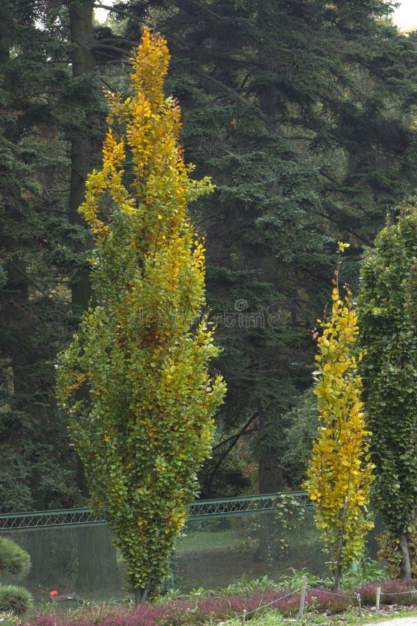 Schwarze Pappel Populus nigra der Landpappel stockfotografie