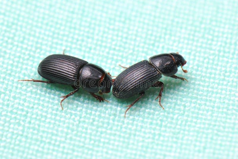 Schwarze Rüsselkäfer stockbild