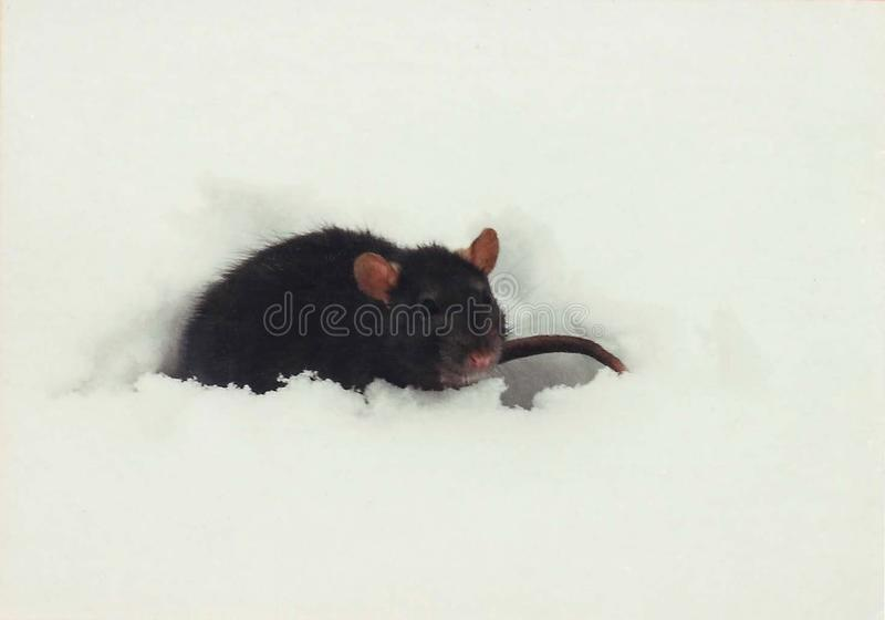 Schwarze Ratte, die im Schnee spielt stockfotografie