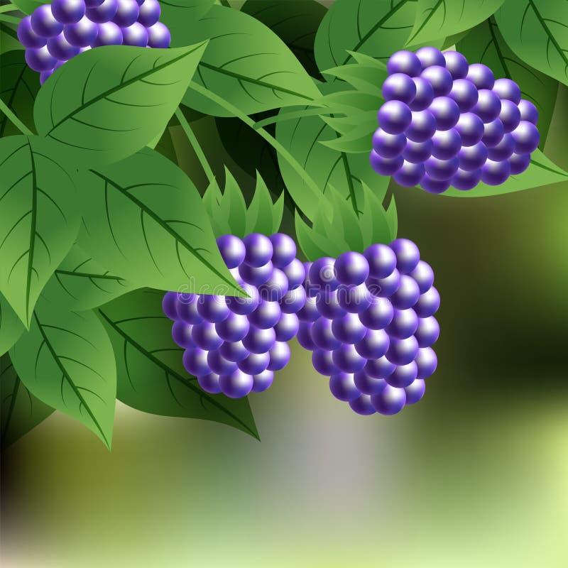Schwarze, reife, süße Brombeere, die an einer Niederlassung mit grünen Blättern hängt lizenzfreie abbildung