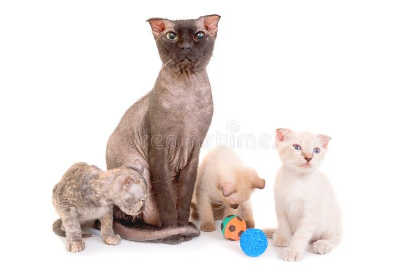 Schwarze reinrassige Sphinxkatze mit drei Kätzchen stockfoto
