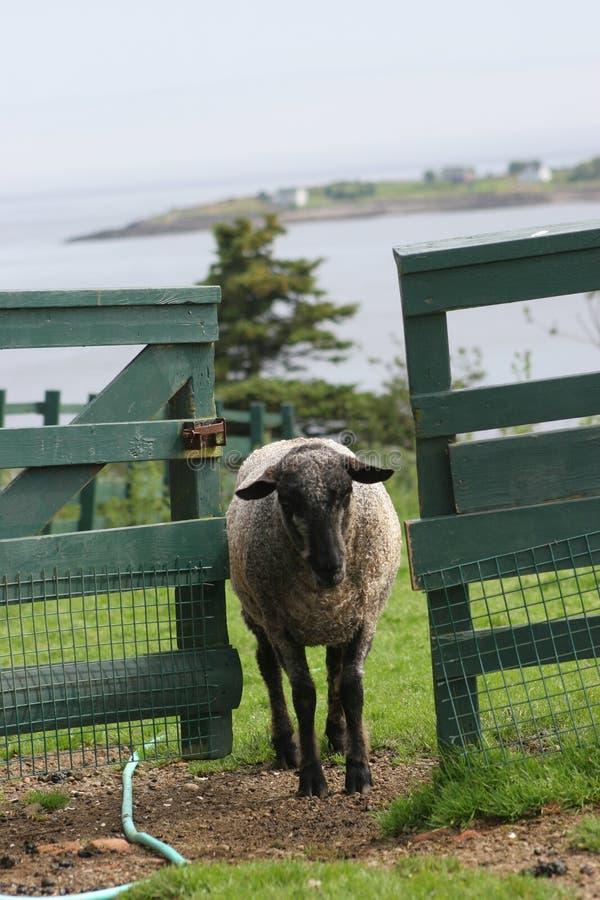 Schwarze Schaf-Entweichen lizenzfreie stockbilder