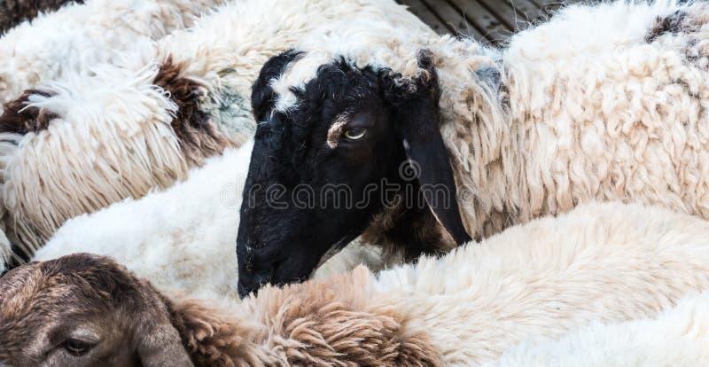 Download Schwarze Schafe stockfoto. Bild von weiß, studio, blau - 47101292