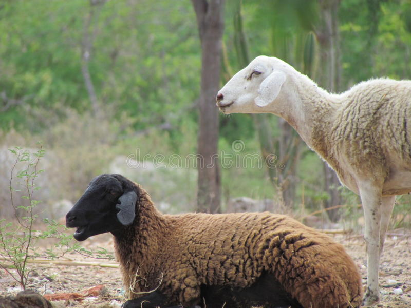 Schwarze Schafe lizenzfreies stockbild