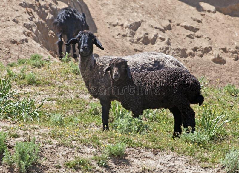 Schwarze Schafe auf Weide stockbilder