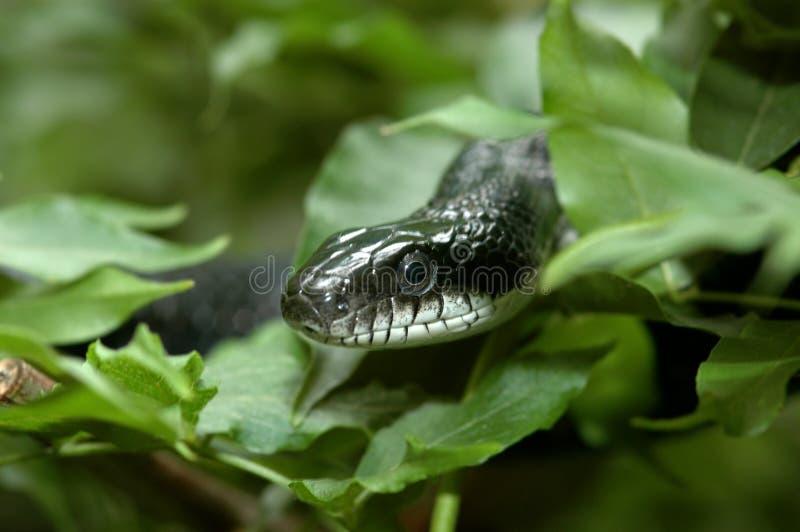 Schwarze Schlange in den Büschen stockbild