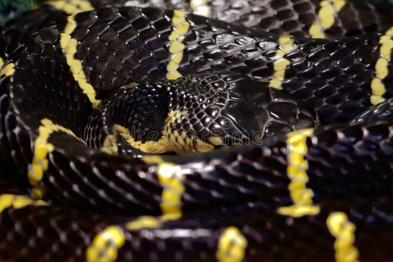 Gelb Schwarze Schlange