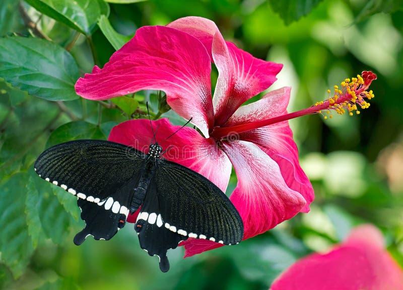 Schwarze Schmetterling Mormone auf einem rosa Blume Hibiscus stockbilder