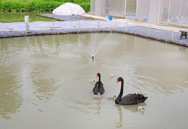 Schwarze Schwäne, die in Teich schwimmen lizenzfreies stockbild
