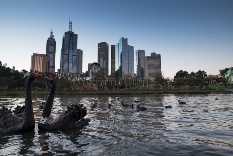 Schwarze Schwäne mit Melbourne-Skylinen lizenzfreie stockbilder