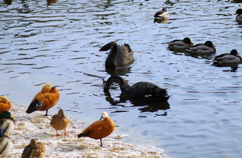Schwarze Schwäne und Ente schwimmen in einem Teich stockbild