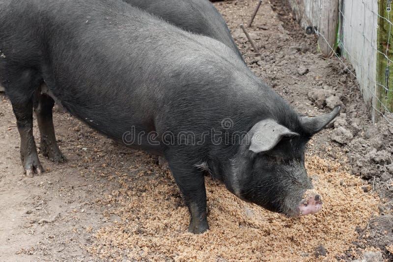 Schwarze Schweine auf einem europäischen Bauernhof lizenzfreies stockfoto